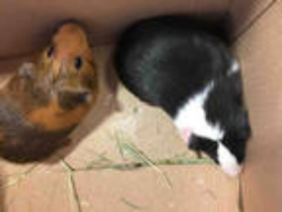 Adopt CHUCK NORRIS a Black Guinea Pig / Mixed small animal in Plano