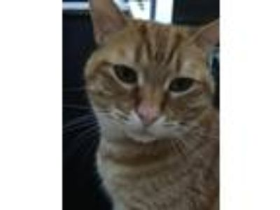 Adopt Leo a Orange or Red American Bobtail / Mixed cat in Murrieta
