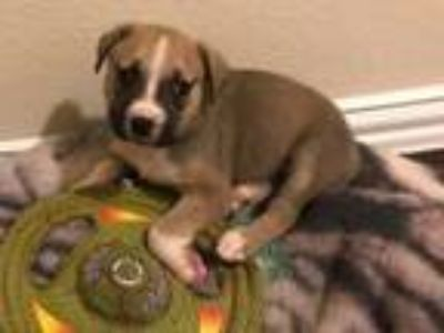 Adopt Fortuna a Tricolor (Tan/Brown & Black & White) Pointer / Boxer / Mixed dog
