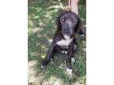 Adopt EMI a Black - with White Border Collie / Mixed dog in Dallas