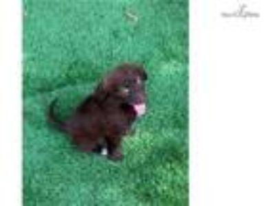 Kix Chocolate Female Aussie Labradoodle