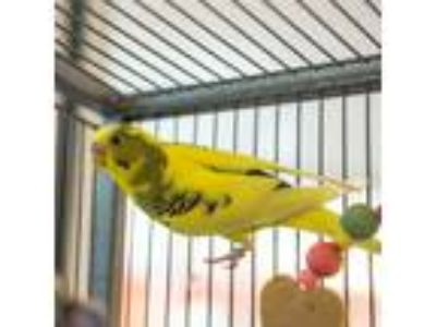 Adopt Frenchie a Budgie bird in Golden, CO (25838908)