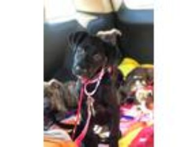 Adopt Jezebel a Dutch Shepherd / Terrier (Unknown Type, Medium) dog in Oak