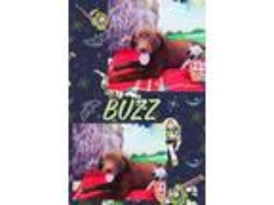 Adopt Buzz a Brown/Chocolate Labrador Retriever / Mixed Breed (Large) / Mixed