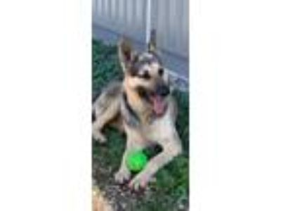 Adopt Duke a Tan/Yellow/Fawn - with Black German Shepherd Dog / Mixed dog in Mt