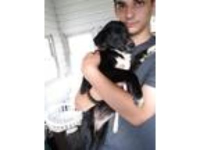 Adopt Pepper a Black - with White Siberian Husky / Mixed dog in Boyertown