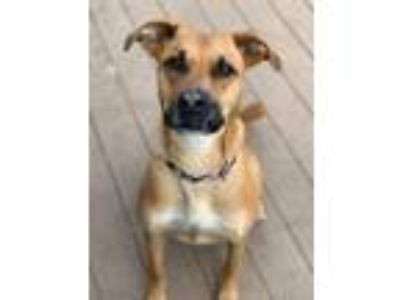 Adopt Newman a Tan/Yellow/Fawn - with Black Shepherd (Unknown Type) / Boxer /