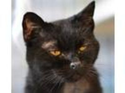 Adopt Vivian a All Black Domestic Shorthair / Domestic Shorthair / Mixed cat in
