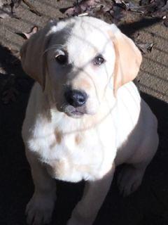 Labrador Retriever PUPPY FOR SALE ADN-105045 - AKC Yellow Labrador Retriever