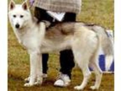 Adopt Rosy a White - with Black Golden Retriever / Husky / Mixed dog in