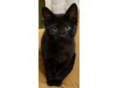 Adopt Erykah Badu a Domestic Short Hair