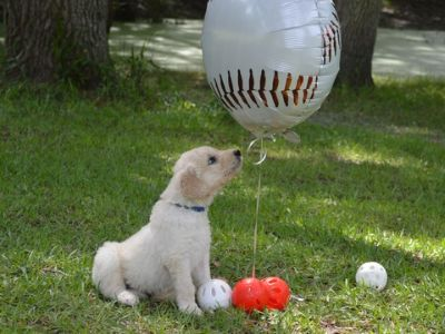 Goldendoodle PUPPY FOR SALE ADN-77797 - F1 standard Goldendoodles