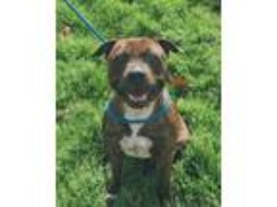 Adopt Faith a Brindle Staffordshire Bull Terrier / Mixed dog in Van Buren