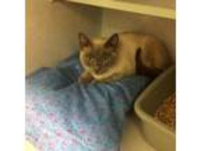 Adopt Sasha a Domestic Short Hair, Siamese