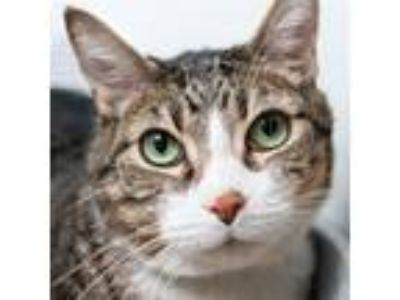 Adopt Phillip (mcas) a Domestic Shorthair / Mixed (short coat) cat in Troutdale