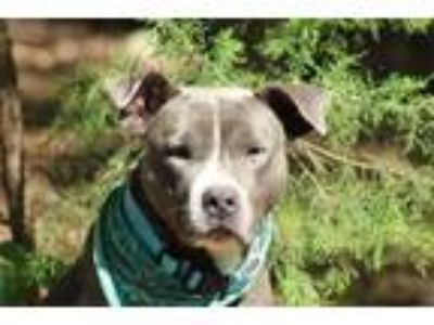 Adopt Boeing a Pit Bull Terrier / American Staffordshire Terrier / Mixed dog in