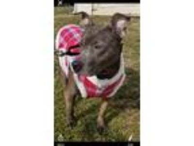 Adopt Millie a Gray/Blue/Silver/Salt & Pepper Pit Bull Terrier / Mixed dog in