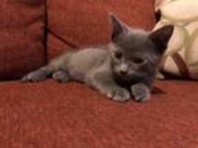 Adopt BLUE a Gray or Blue Domestic Shorthair / Mixed (short coat) cat in West