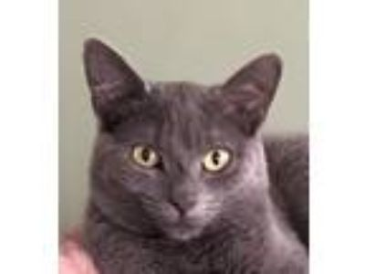 Adopt Wilbur a Gray or Blue Domestic Shorthair / Mixed (short coat) cat in