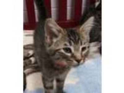 Adopt Kamikaze a Domestic Short Hair