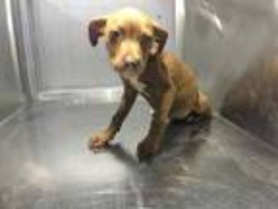 Adopt ADOPTED a Brown/Chocolate American Pit Bull Terrier / Mixed dog in Fort