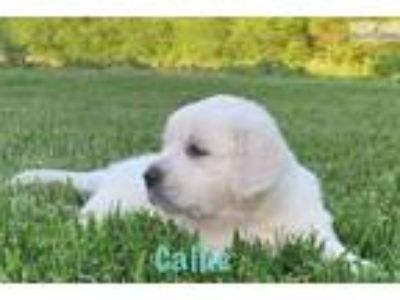 AKC English Cream Retriever w. Champion lines