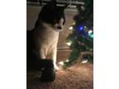 Adopt Brightheart a Black & White or Tuxedo American Shorthair / Mixed cat in