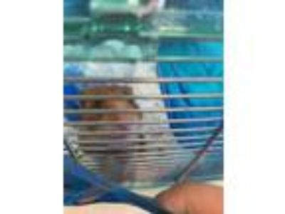 Adopt BJ a Brown or Chocolate Hamster / Hamster / Mixed small animal in Largo