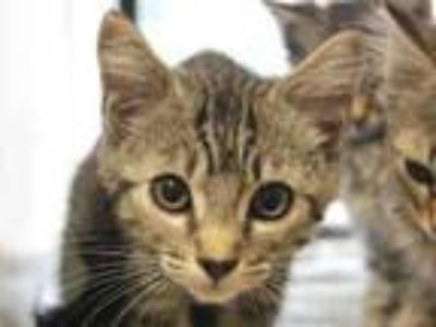 Adopt SPLISH a Domestic Short Hair