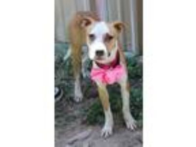 Adopt Trina a White - with Red, Golden, Orange or Chestnut Boxer / Beagle /