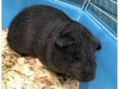 Adopt Dewey a Black Guinea Pig / Guinea Pig / Mixed small animal in Vienna