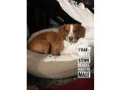 Adopt Stewie a Tan/Yellow/Fawn - with White Beagle / Basset Hound / Mixed dog in