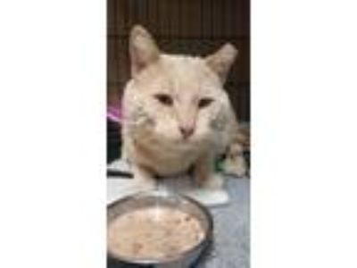 Adopt Big Boy a Cream or Ivory American Shorthair / Mixed (short coat) cat in
