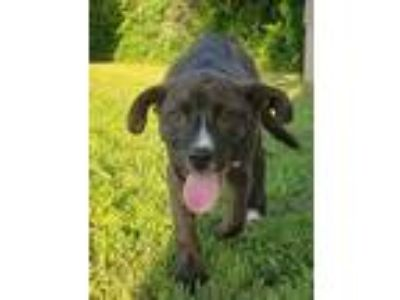 Adopt Sirloin AD a Brindle - with White Boxer / Mixed dog in Richfield