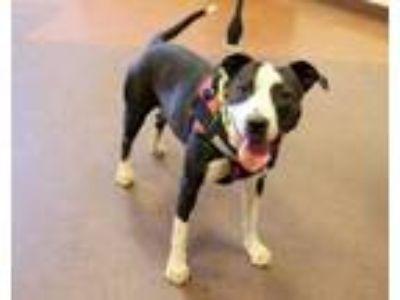 Adopt Bandita a Australian Cattle Dog / Blue Heeler
