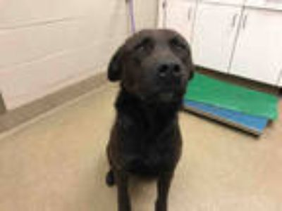 Adopt GRAPHITE a Black Labrador Retriever / Mixed dog in Santa Maria