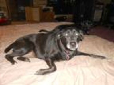 Adopt Ellie a Black Labrador Retriever / Greyhound / Mixed dog in North Jackson