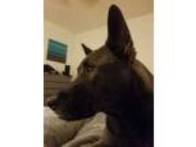 Adopt Booby a Black - with Gray or Silver Alaskan Malamute / Labrador Retriever