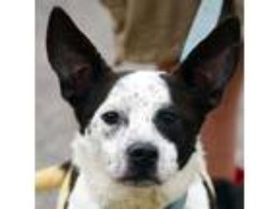Adopt Harris a White - with Black Australian Cattle Dog / Border Collie / Mixed