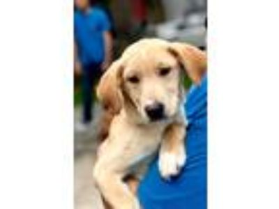 Adopt Izzy Newberry a Tan/Yellow/Fawn - with White Labrador Retriever / Mixed
