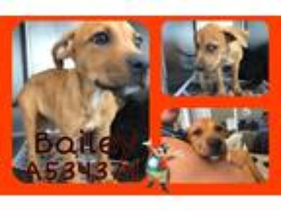 Adopt BAILEY a Brown/Chocolate Black Mouth Cur / Mixed dog in San Antonio