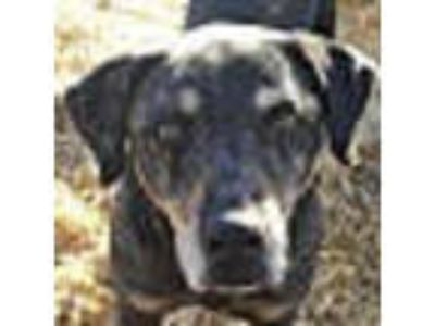 Adopt Pops a Coonhound