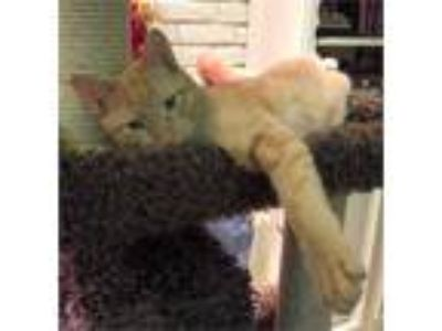 Jazz - Sweet Butterscotch Tabby Kitten to Adopt in Garland -near Dallas TX