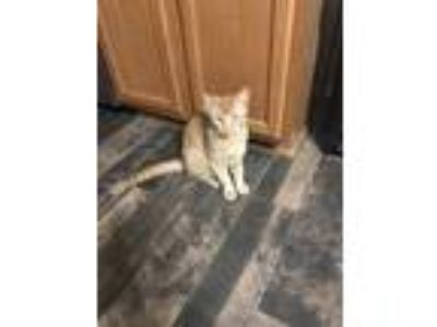 Adopt Tance a Orange or Red (Mostly) Domestic Mediumhair / Mixed cat in