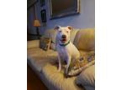 Adopt Mary Kate a White American Pit Bull Terrier / Mixed Breed (Medium) / Mixed