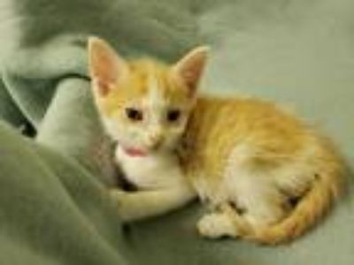 Adopt Carol a Orange or Red (Mostly) Domestic Shorthair (short coat) cat in New