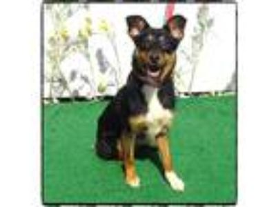 Adopt LEIKA a Tricolor (Tan/Brown & Black & White) German Shepherd Dog / Mixed