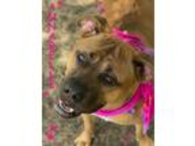 Adopt ANNABELLE a Brown/Chocolate - with Black Boxer / Mixed dog in Seagoville