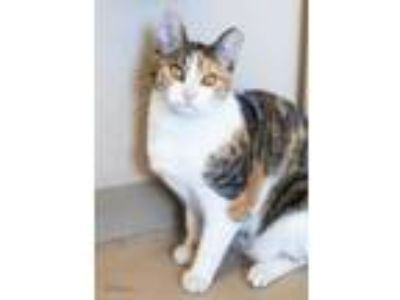Adopt Baby Kitten a White Domestic Shorthair / Domestic Shorthair / Mixed cat in