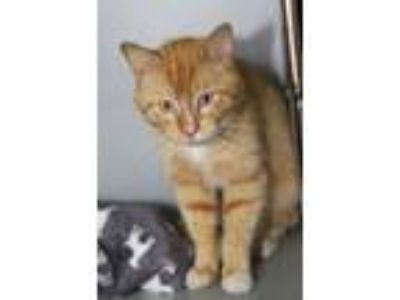 Adopt O'Malley (Combo Tested) a Domestic Short Hair, Tabby